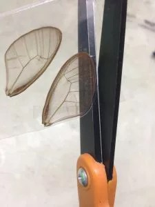 trimming butterfly wings