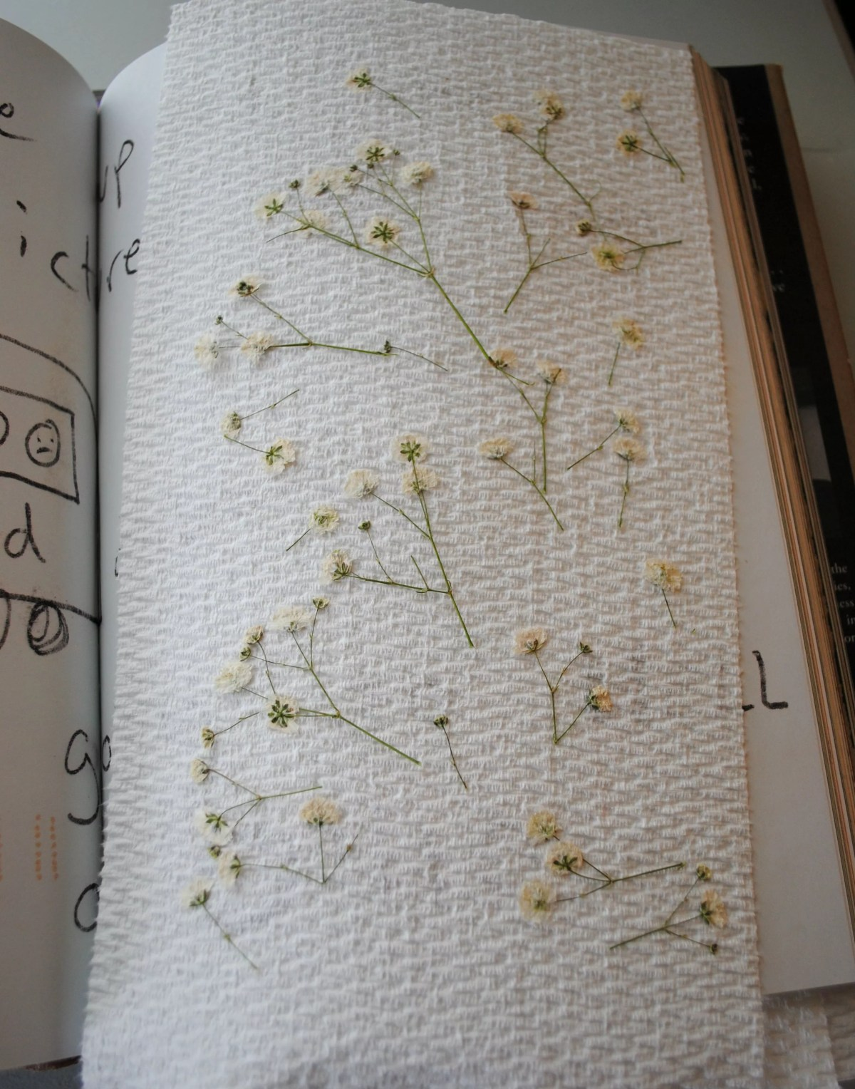 baby's breath after being flattened in a book