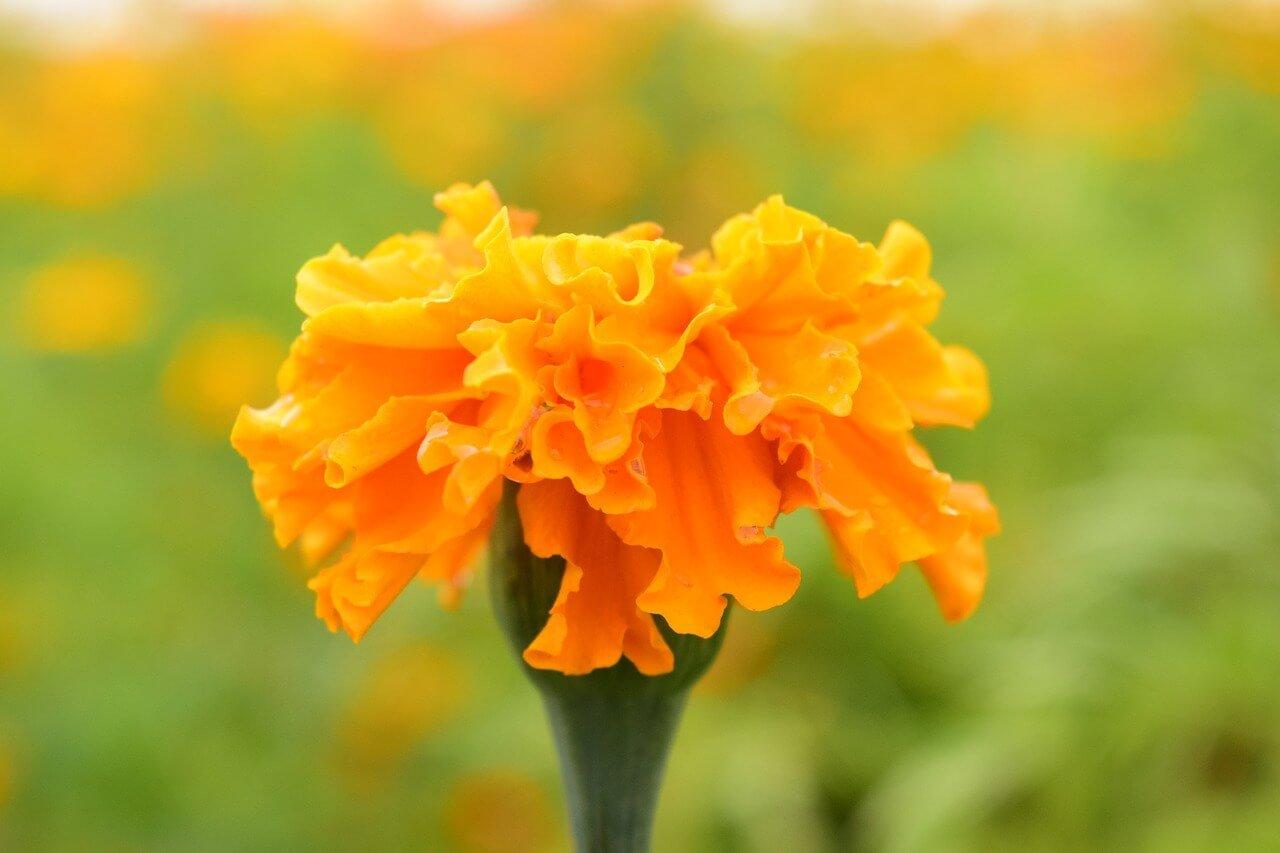 Tagete giallo e arancio, garofano indiano