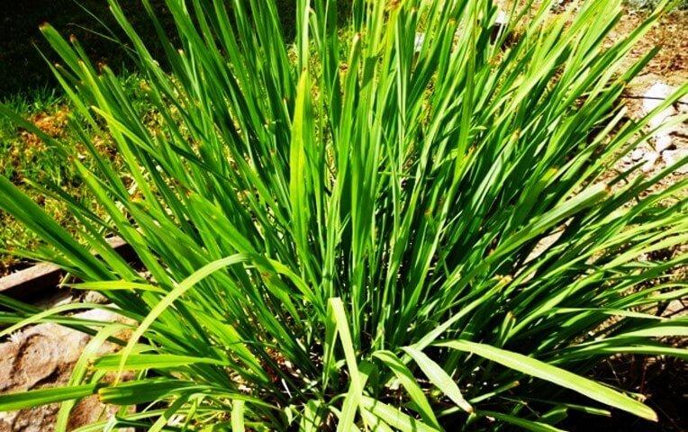 Cymbopogon citronella, Lemongrass