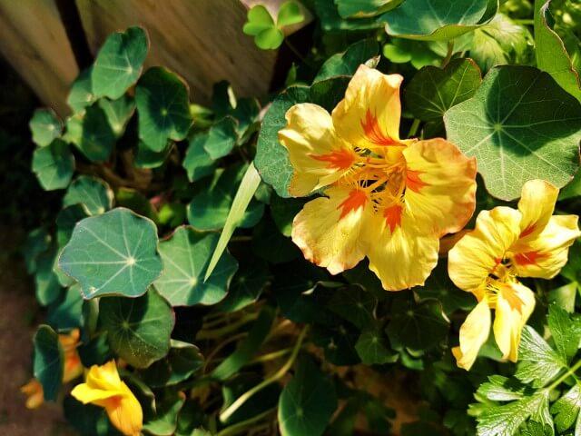 Nasturzio giallo e arancio