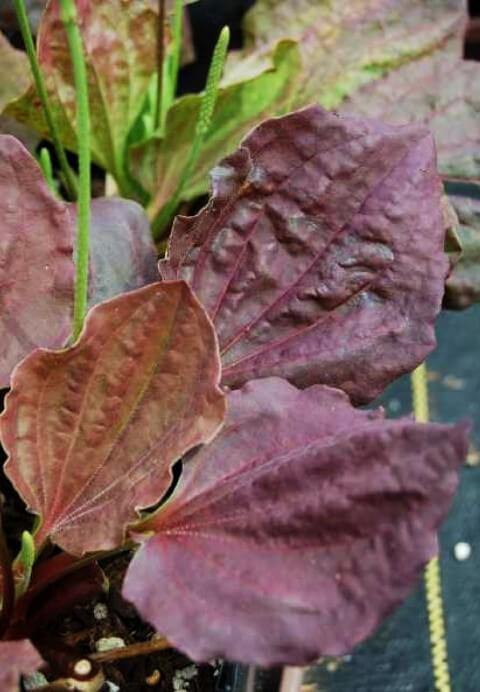 Plantago Major purpurea o variegata