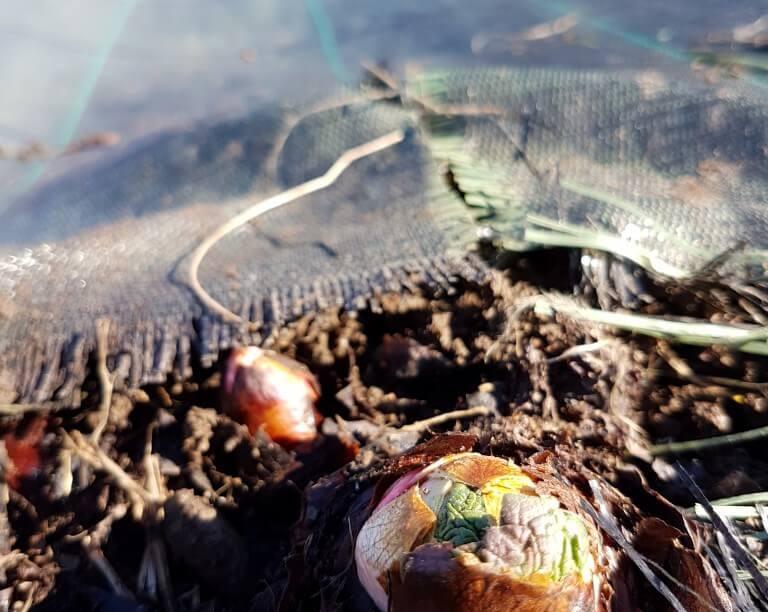 campio di rabarbaro dopo pulizia da erbacce