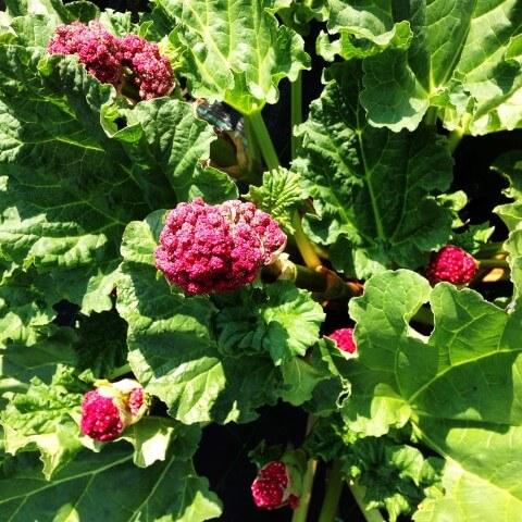 pianta rabarbaro fiore rosso