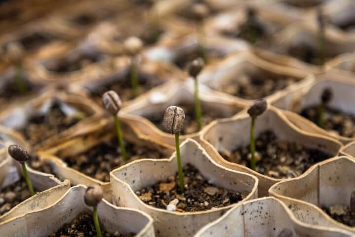 germogli semenzaio