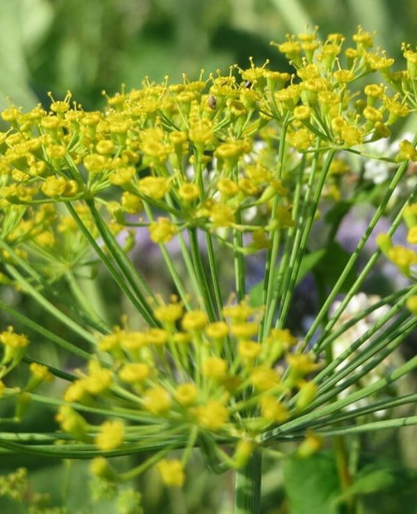 Aneto-fiori