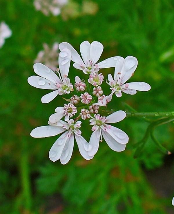 Coriandolo-fiori
