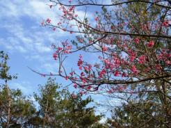 1/16 名護城公園頂上付近の開花状況⑥