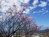 2/4 名護城公園「さくら園」付近の開花状況②