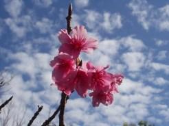 2/4 名護城公園「さくら園」付近の開花状況⑧