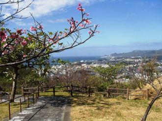 2/4 名護城公園「さくら園」付近の開花状況⑨