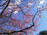 2/4 名護城公園「太陽の丘」付近の開花状況