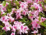 ツツジの花②