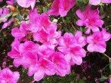 ツツジの花③