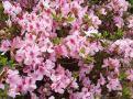 ツツジの花⑤