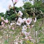 クメノ桜④