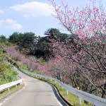 頂上の「天上展望台」付近の開花状況②(2016年2月9日)
