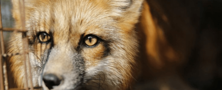 3 reasons to donate to the campaign against the cruel fur trade