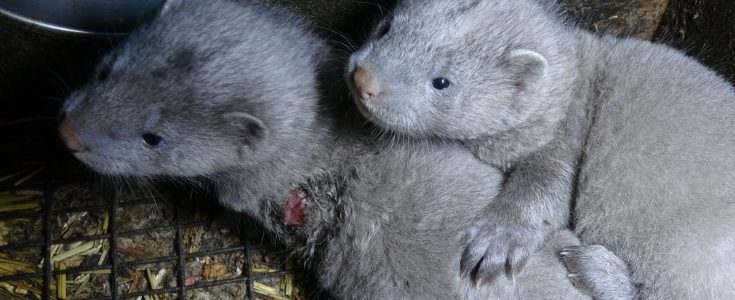 Show your support for a fur farming ban in Czech Republic