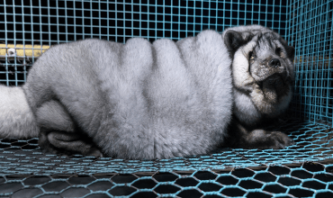 Finnish government urged to end breeding of severely obese foxes for fur
