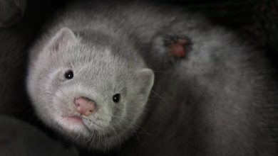 Ask Iceland to ban fur farming