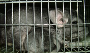 #StopWanger: help end chinchilla farming in Hungary