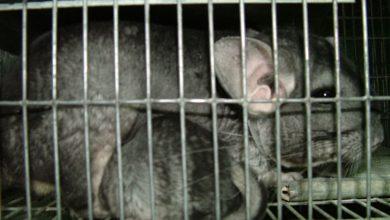 #StopWanger: help end chinchilla farming in Hungary