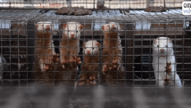 France is to ban fur farming!