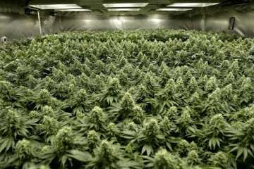 Super Lemon Haze - Surefire Cannabis Review
