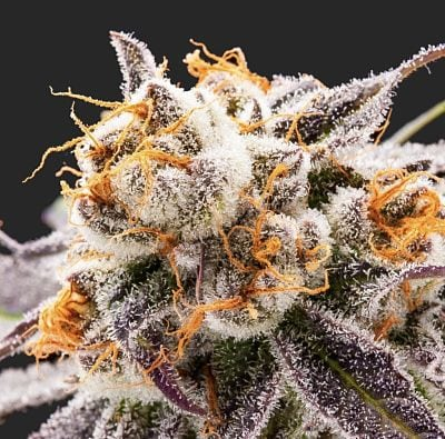 Purple Punch Strain Review (Prod  Pot Of Gold) | Respect My