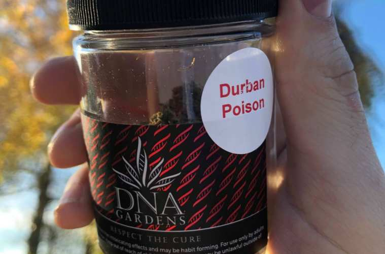 Durban Poison By DNA Gardens—A Pure-Sativa Crawling With Trichomes