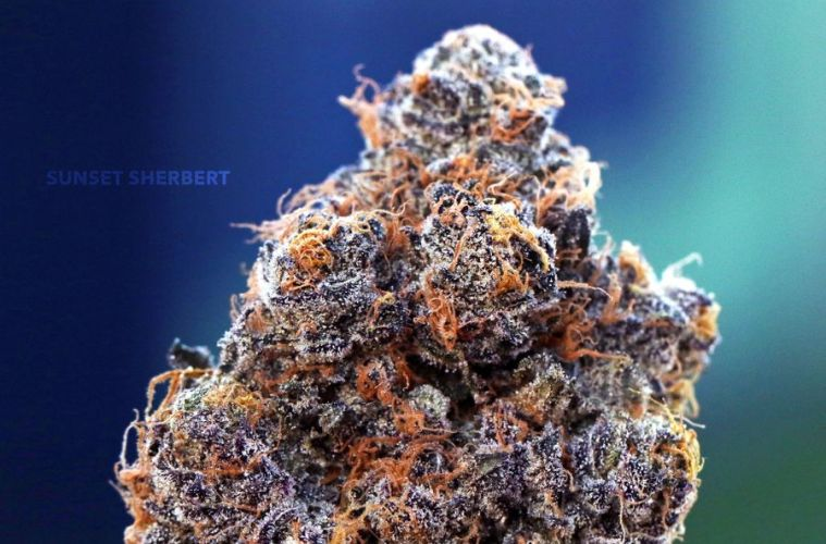 The Sunset Sherbet Strain Is A Full Spectrum Of Incredibly Rich Terpenes