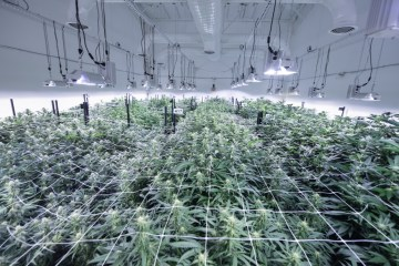 Cannabis Cultivation Facility Design: How To Build for Maximum Efficiency