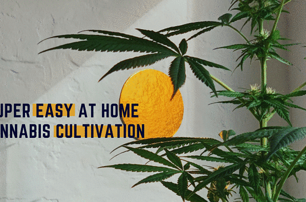 At-Home Cannabis Cultivation: Where To Begin And How To Start Harvesting
