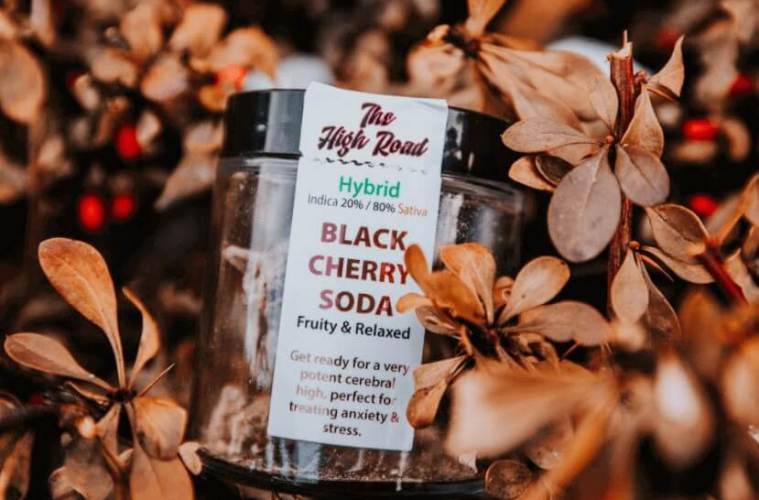 Black Cherry Soda Strain Review Featuring The High Road