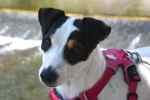 Harnais pour Petit Chien - Comment choisir l'Harnais de votre chien ? Avis & Comparatif