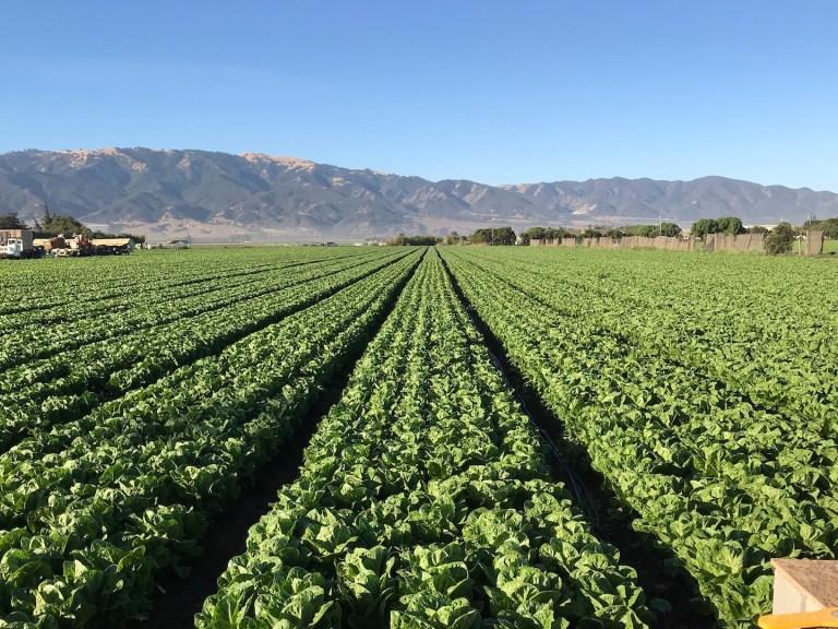 RDI - organic romaine lettuce