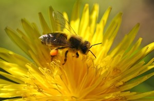 bee collecting pollen from a dandelion