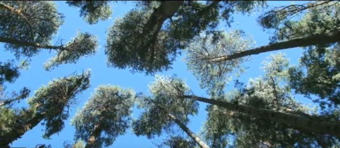 Natural trees in Mulanje