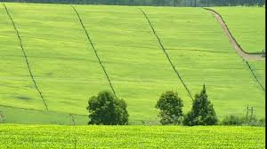 Tea fields in Mulanje