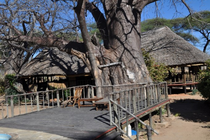 Boabob tree in Mangochi