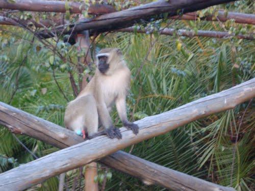 Monkey at Kande Beach