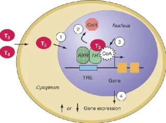 Thyroid hormone receptor