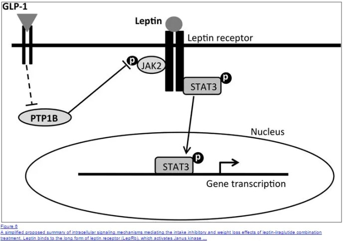 how GLP 1 agonists reduce leptin levels