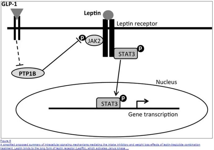 in che modo gli agonisti del GLP 1 riducono i livelli di leptina