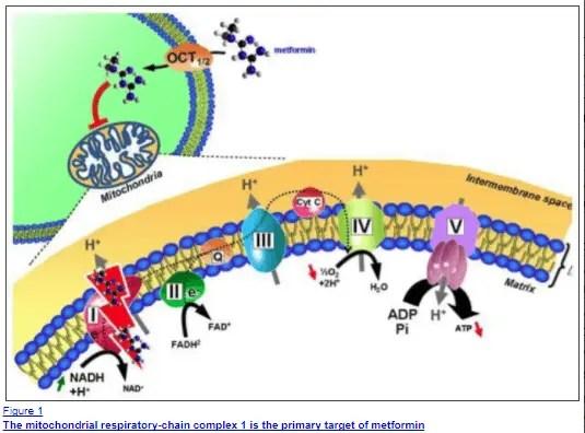 effect of metformin on mitochondria