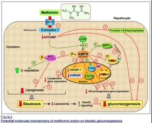 metformin mechanism of action in the liver