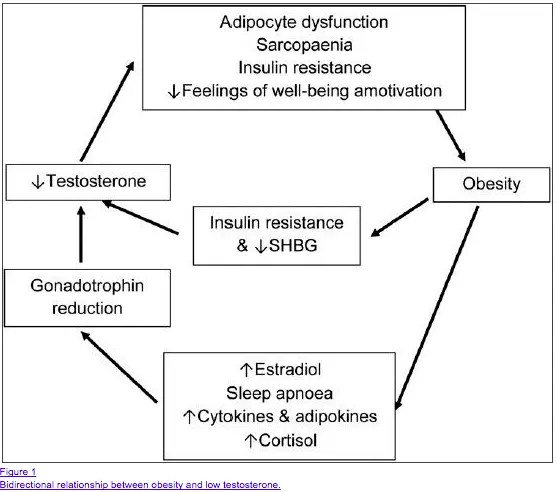 bidirectional relationship between weight gain and low testosterone