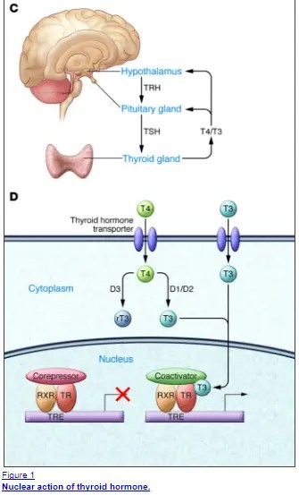 Thyroid hormone influences almost every cell in the body through the action at nuclear receptors