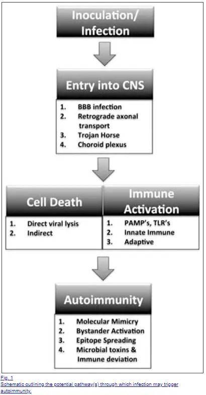 mechanism of autoimmune activation through infection